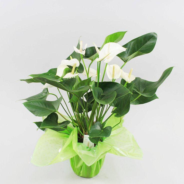 Anthurium andr. White Winner Ø17cm in rondello