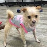 Lake Forest, California - Cairn Terrier. Meet Chloe, a for adoption. https://www.adoptapet.com/pet/20634684-lake-forest-california-cairn-terrier-mix
