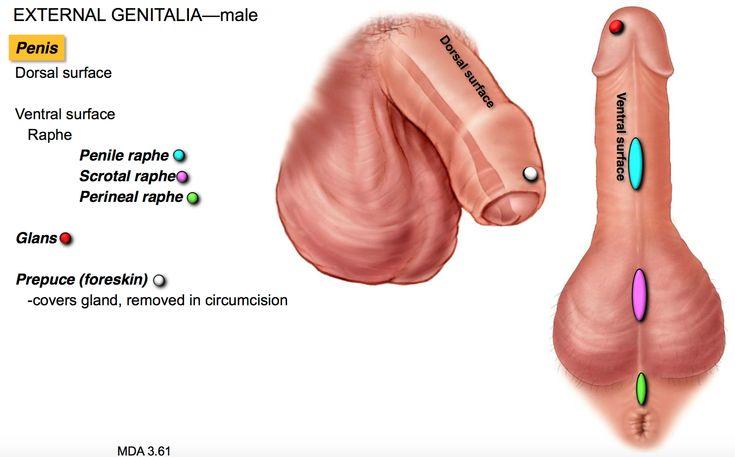 The psoas gland massage - 1 part 5