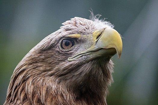 White-tailed eagle by Katarzyna Szymanska