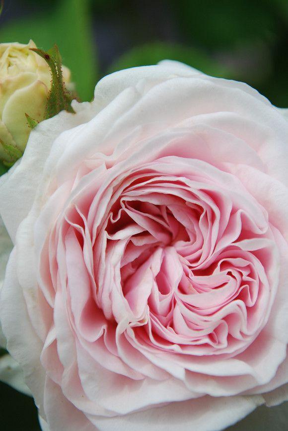 ~Alba Rose: Rosa 'Félicité Parmentier' (Belgium, before 1836)