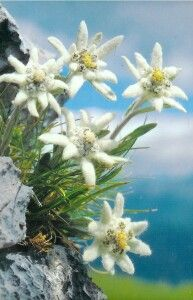 """Edelweiss in Austria. This is the flower from the song """"Edelweiss"""" from The Sound of Music. I love that song!"""