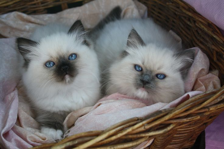 Seal Mitted left & Blue Mitted right
