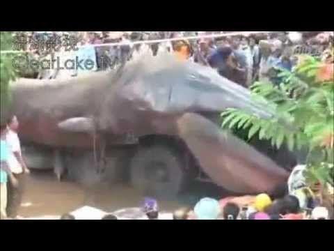 Cacing Terbesar Di Dunia - Binatang Hewan Raksasa Aneh Di Dunia