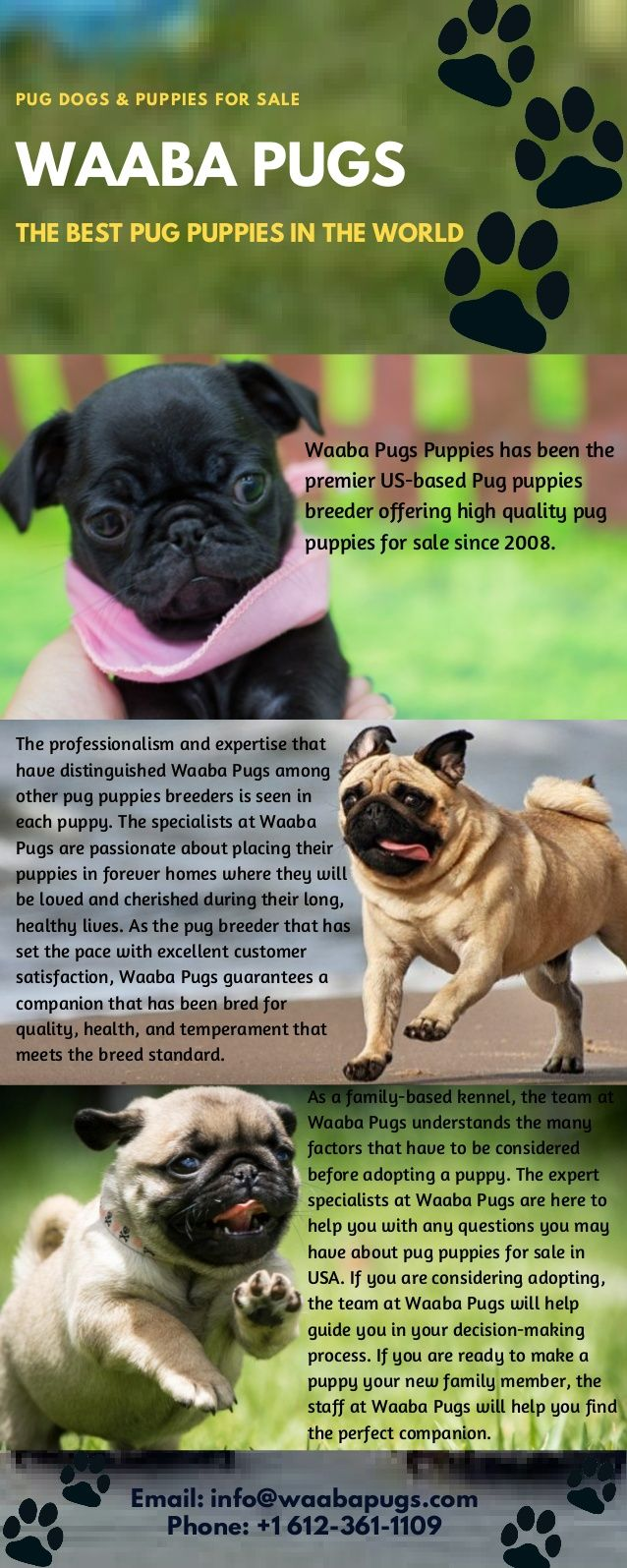 Best Breed Waaba Pugs Dogs Puppies For Sale If You Are