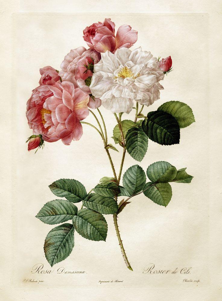 "https://flic.kr/p/s1AFep | Pierre-Joseph Redouté  ""Les Roses - Rosa Damascena"" 1817-24 | Pierre-Joseph Redouté (1759 –1840)"