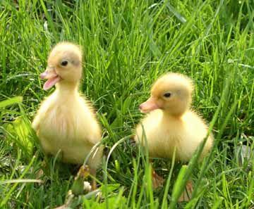 duck ducksFarms Videos For Kids, Black Black Black, Baby Ducks, Brain Breaking, Pets, Ducks Ducks, Baby Ducklings, Baby Chicks, Adorable Animal