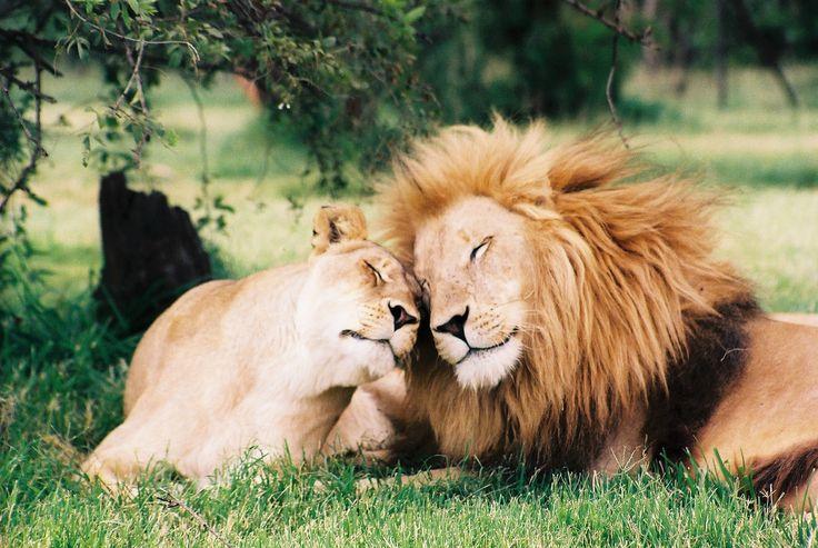 cute: In Love, Big Cats, Animals, Animal Kingdom, Beautiful, Lion Love, Things, Lions, Photo