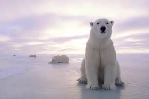 Polar Bear - wallpaper.