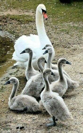 Waterfowl - Mute swan with cygnets. The cob (male) and the pen (female) raise the young for 1 year.