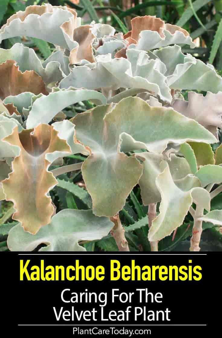 Kalanchoe Beharensis Care Growing The Velvet Leaf Felt Plant