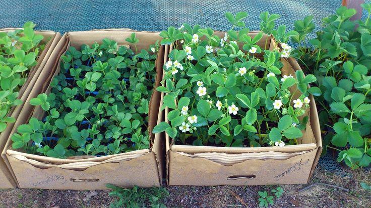 Strawberry - 17.05.13 http://vk.com/club12680729