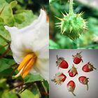 Lychee Tomate 10 Samen -Solanum sisymbriifolium- Delicious Sweet Fruits Garden …   – Garten & Terrasse