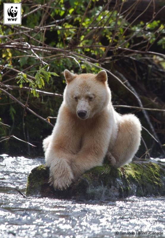 The Kermode Bear, or Spirit Bear is unique to the Great Bear region, British Columbia, Canada.