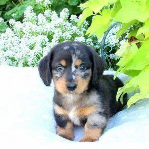 Ernie Dachshund Puppy Dachshunds Minature Dachshund Mini