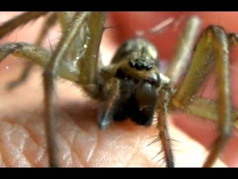 Quaoar Power: Hobo Spider Bite Test