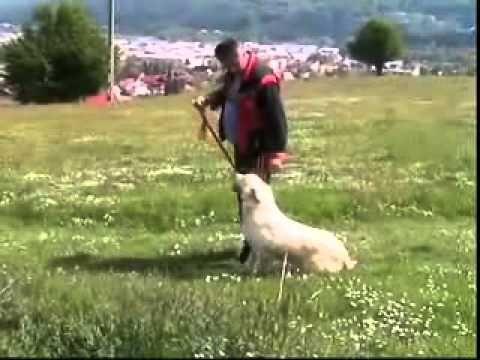 Dresaj canin Golden Retriever, GOLD 7 luni ,Scoala dresaj caini INSULTY - YouTube