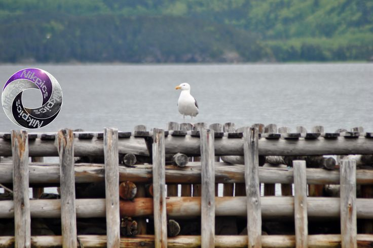 Point of Bay, Newfoundland. Many seagulls perch on this wharf!