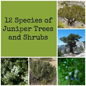 You may be surprised to learn that the berries on juniper trees and shrubs are cones, making them evergreen conifers. Learn more about them here.
