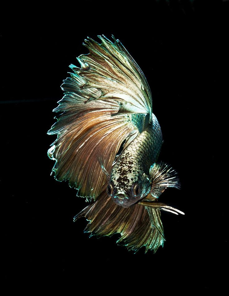 86 best betta fish images on pinterest betta fish betta for Betta fish habitat