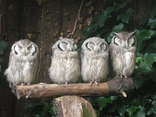 White-faced Scops Owls (chicks) Paradise Park, Cornwall UK