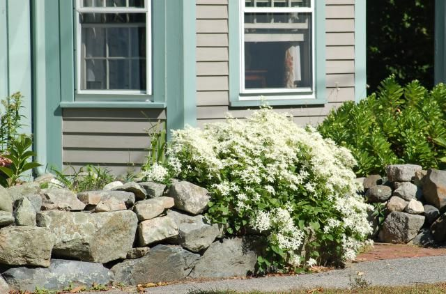 Is Sweet Autumn Clematis Really So Sweet?: Sweet autumn clematis is a climber, but it can also be used as a ground cover.