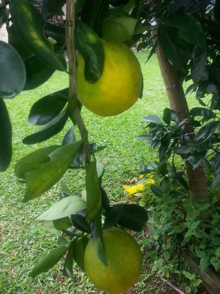 Tropical Gardening : Dwarf Washington Navel