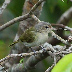 Hylophilus muscicapinus - Buff-cheecked Greenlet.JPGEl verdillo atrapamoscas4 (Pachysylvia muscicapina), también denominado verderón atrapamoscas (en Venezuela), vireillo de pecho claro,3 vireo de mejillas crema,5 verderón del Guainía o vite-vite-camurça (en portugués, en Brasil), es una especie de ave paseriforme, perteneciente al género Pachysylvia (antes colocado en Hylophilus) de la familia Vireonidae. Es nativo del norte de América del Su