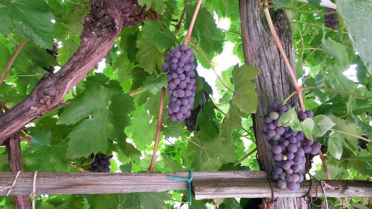 """Herbstzeit ist Zeit der Weinlese, oder """"wimmen"""", wie man in Südtirol sagt."""