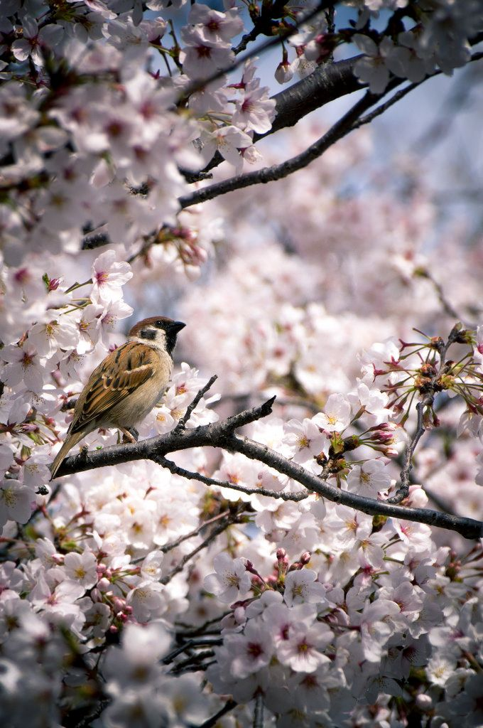 Sparrow among the Cherry Blossoms by Jon Lenzmeier