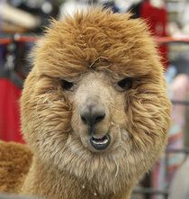 That face!  An alpaca at the Wisconsin Fiber Festival 2014, from the Milwaukee Journal Sentinel