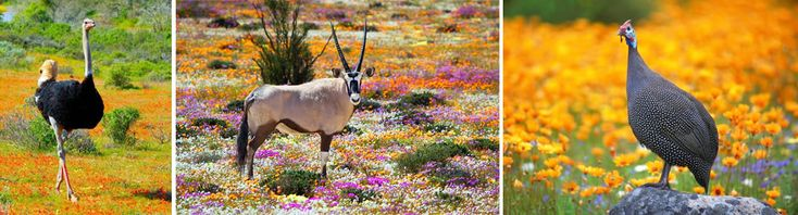 Beautiful !!  August and September will be the best time to visit the #Klein #Karoo and Namaqualand for a spectacular flower tour.