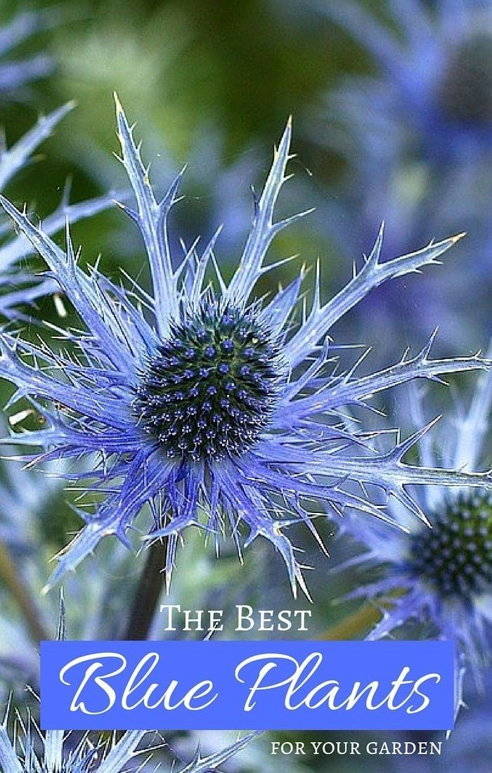 The Best Blue Plants for Your Garden - the beauty of blue garden plants through flowers, foliage, and fruit. See the plant list for growing a blue garden.