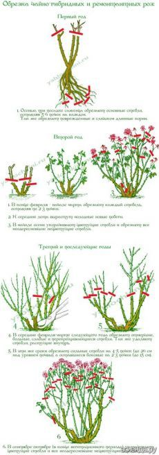 Обрезка роз. часть 2. Чайно-гибридные и ремонтантные розы.: Группа Цветы и флористика