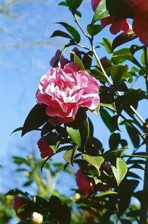 Kamelia - Camellia japonica