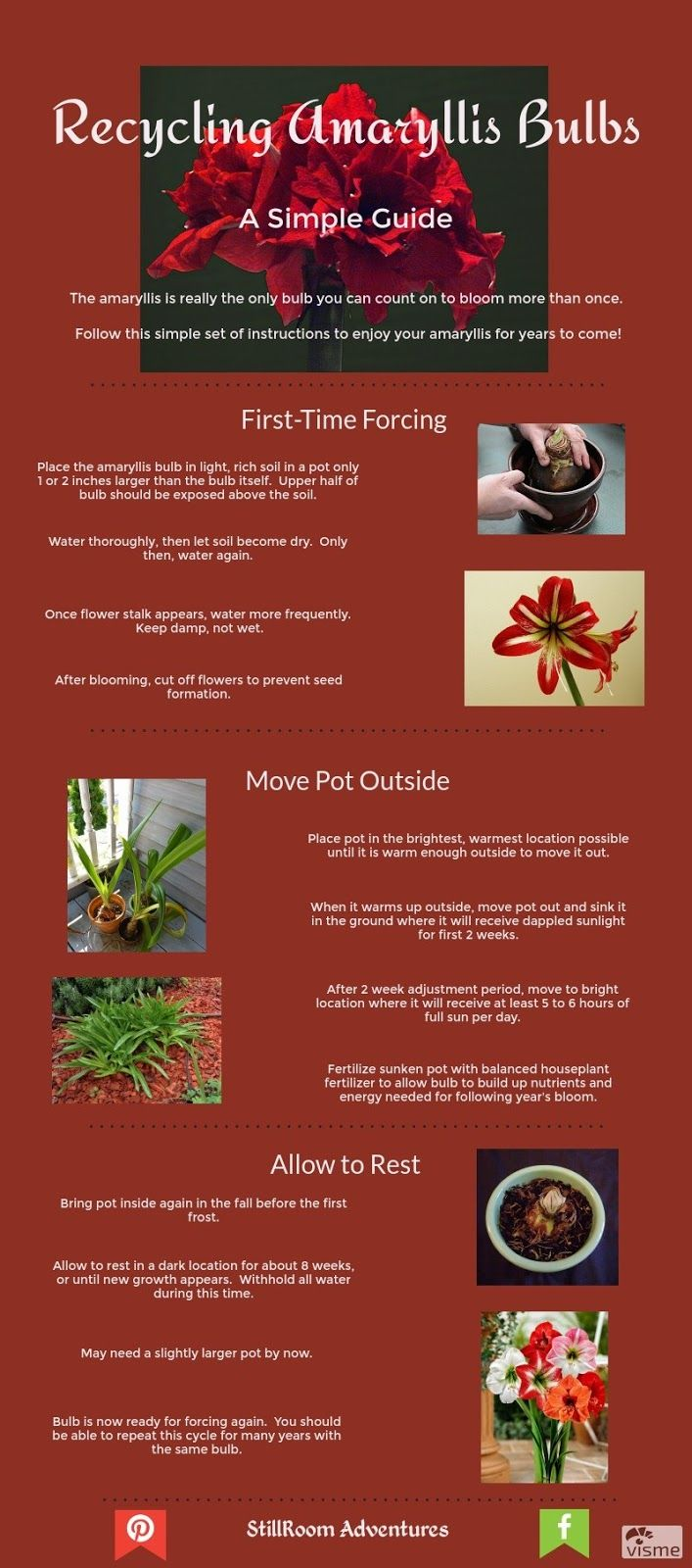 Recycling Amaryllis Bulbs for Blooms Year after Year:  A Simple Guide:  StillRoom Adventures:  The amaryllis is really the only forced bulb you can bloom more than once.  Click to through for instructions!