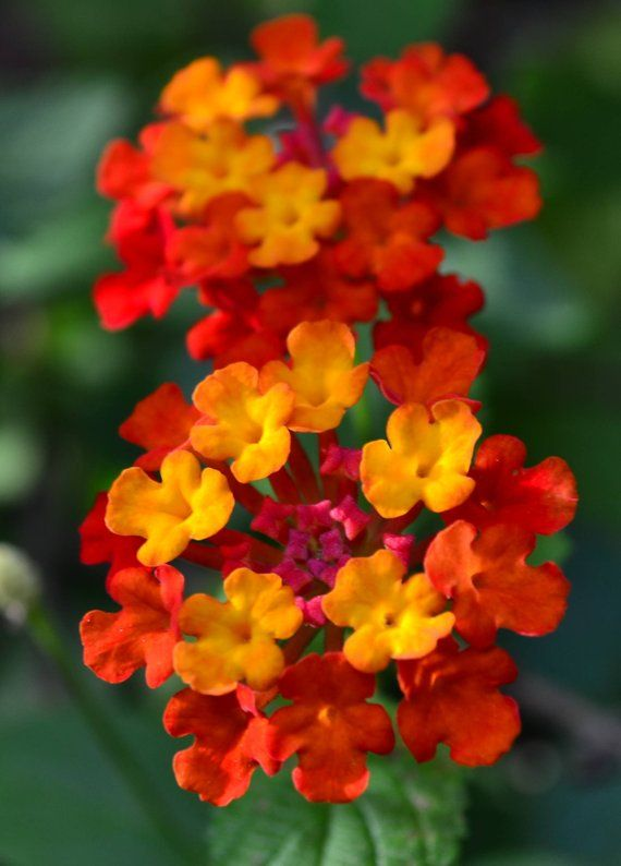 Lantana Dallas Red Red Yellow Flowering Plant Bush Live Potted Yellow Flowering Plants Lantana Flowering Bushes