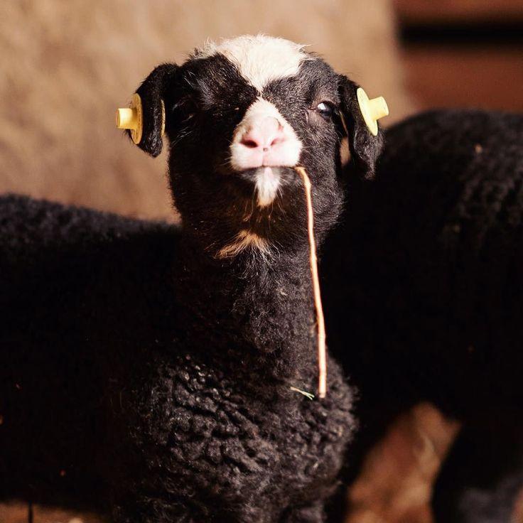 Talking to me? #lambs #sheep