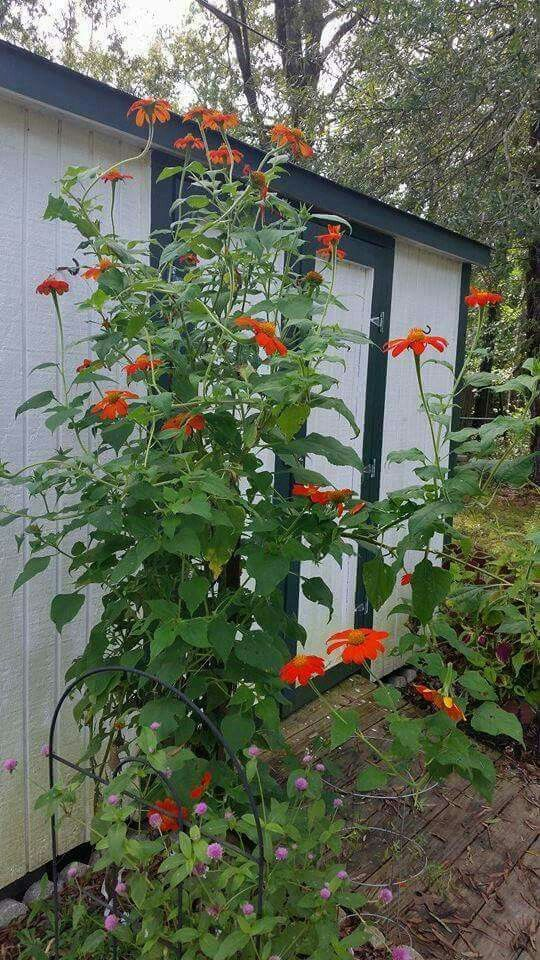 Mexican Sunflowers (Tithonia Rotundifolia U0027Torchu0027) U2014 A Butterfly ...