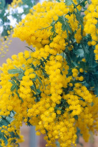 Acacia baileyana. Mimosa. Small Spring flowering tree. Use in place of baby's breath