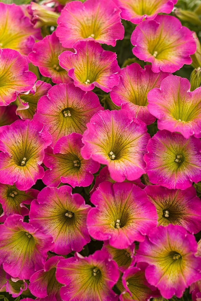Summer can't get much sweeter than Supertunia Daybreak Charm. This NEW plant bears loads of watermelon pink flowers with a sunshine center. Pair it with darker colors, or a pastel yellow.
