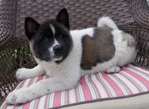 Akita puppy for sale in FRESNO, OH. ADN29707 on