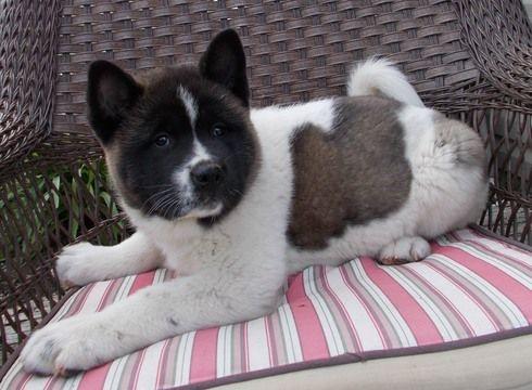 Boxer Dog For Sale Fresno Ca