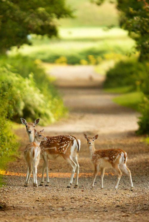 Country Living ~ deer crossing