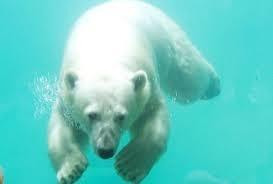 Les premiers explorateurs de l'Arctique surnommaient l'ours polaire « Ursus maritimus » à cause de ses talents de nageur. La vitesse de pointe dans l'eau est de 8 Km/h et il peut plonger à plusieurs mètres. Sa couche de graisse de 5 à 10 cm d'épaisseur l'aide à flotter et le protège des eaux glacées. On a déjà repéré des ours à plus de 100 Km des côtes.