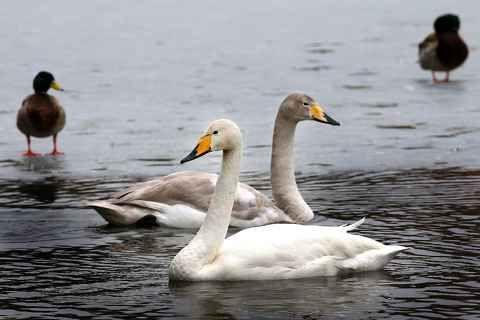 BT har tidigare berättat om att grannar till fågelkolonin i Ramnasjön störs av sångsvanarna. Sätt in öronproppar så är problemet löst, menar Åke Johansson.