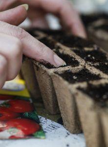 Mit dem Finger wird der Tomatensamen in das Substrat gedrückt.