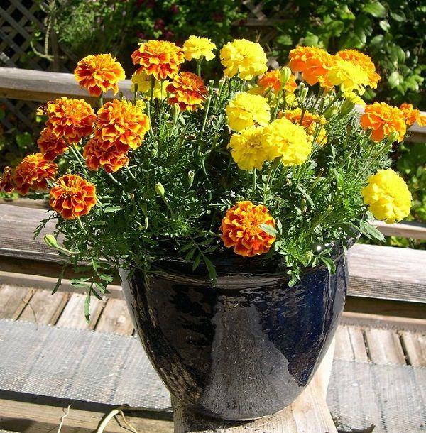Seguimos con las mejores flores para cultivar en maceta a pleno sol, es fácil encontrar candidatas para nuestra terraza o balcón por soleados que sean. Las flores, por lo general, aman el sol y es por ello que tenemos muchas candidatas para decorar nuestro jardín o el espacio que dediquemos a las plantas en casa.  La caléndula, Calendula officinalis, es un buen ejemplo de ello. Es una planta a la que el sol y el calor le sientan de maravilla. Dependiendo de dónde vivas puedes cultivarla…