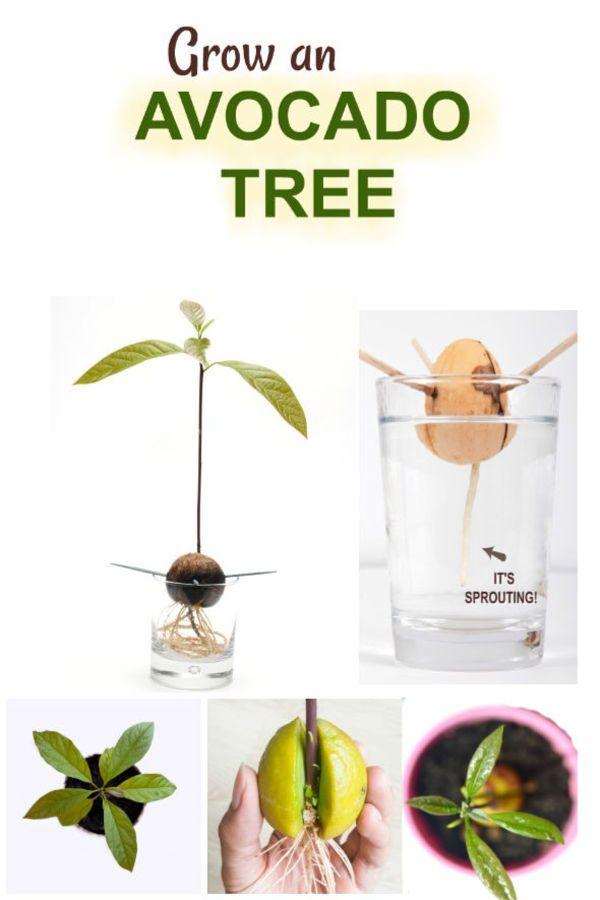 Grow Avocado Tree Growing An Avocado Tree Avocado Tree Grow Avocado