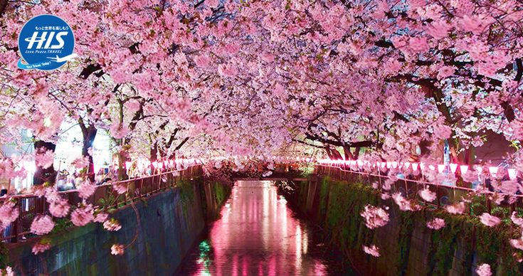 Gambar Musim Bunga Sakura 5 Fakta Unik Bunga Sakura Yang Wajib Kamu Ketahui Sudah Siap Berangkat Ke Jepan Musim Bunga Saku Di 2020 Bunga Bunga Sakura Lukisan Bunga